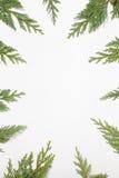 Rama z Japońskim cyprysem & x28; Chamaecyparis, iglasty tree& x29; Obraz Royalty Free