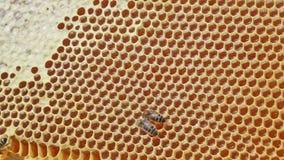 Rama z pszczół honeycombs wypełniającymi z miodem zdjęcie wideo