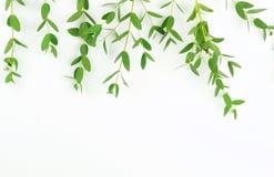 Rama zielony eukaliptus rozgałęzia się od above Zdjęcie Stock