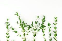 Rama zielony eukaliptus rozgałęzia się spod spodu Obrazy Stock