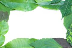 Rama zielony liść na białym tle Zdjęcia Royalty Free