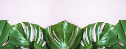 Rama zielony mostera opuszcza na różowym backgorund Obrazy Stock