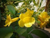 Ramalhete amarelo da flor disparado na folha verde no jardim foto de stock royalty free