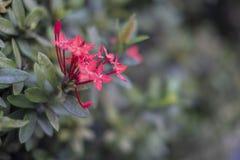 Ramalhete ascendente próximo da flor vermelha do ponto ou da flor vermelha do ixora com folhas verdes imagens de stock royalty free