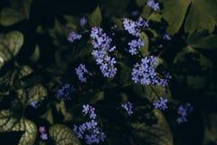 Ramalhete azul das flores dos mios?tis da mola fotos de stock royalty free