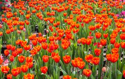 Ramalhete bonito das tulipas coloridas na mola Imagens de Stock Royalty Free