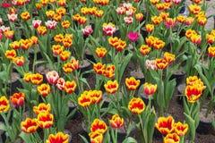 Ramalhete bonito das tulipas coloridas na mola Foto de Stock Royalty Free