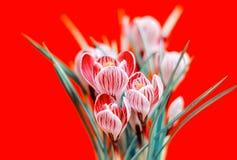 Ramalhete bonito de açafrões da mola, no fundo vermelho Foto de Stock