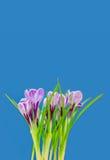 Ramalhete bonito de açafrões frescos da mola, no backgrou azul Foto de Stock