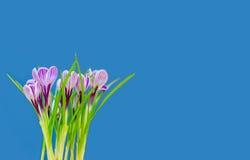 Ramalhete bonito de açafrões frescos da mola, no backgrou azul Imagens de Stock Royalty Free
