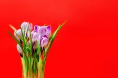 Ramalhete bonito de açafrões frescos da mola, no backgroun vermelho Fotografia de Stock Royalty Free