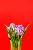 Ramalhete bonito de açafrões frescos da mola, no backgroun vermelho Imagens de Stock