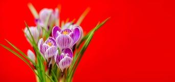 Ramalhete bonito de açafrões frescos da mola, no backgroun vermelho Fotografia de Stock