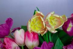 Ramalhete bonito de flores amarelas roxas das tulipas do rosa colorido fresco no fundo neutro cinzento com copyspace fotografia de stock royalty free