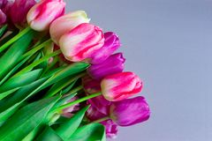 Ramalhete bonito de flores roxas cor-de-rosa coloridas frescas das tulipas no fundo neutro cinzento com copyspace fotografia de stock