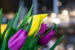 Ramalhete bonito de tulipas amarelas e roxas, close-up Foto de Stock Royalty Free