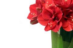 Ramalhete bonito grande de Amaryllis vermelha Imagem de Stock Royalty Free