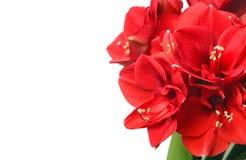 Ramalhete bonito grande de Amaryllis vermelha Imagens de Stock Royalty Free
