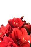 Ramalhete bonito grande de Amaryllis vermelha Fotografia de Stock Royalty Free