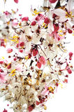 Ramalhete cor-de-rosa da flor da cássia Fotos de Stock