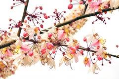 Ramalhete cor-de-rosa da flor da cássia Fotos de Stock Royalty Free