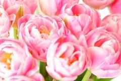 Ramalhete cor-de-rosa nostálgico da flor da tulipa fotos de stock
