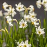 Ramalhete da flor branca do narciso amarelo foto de stock