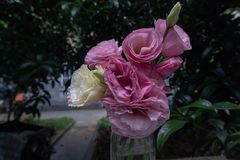Ramalhete da flor de flores de corte grandiflorum-frescas de Platycodon Fotografia de Stock Royalty Free