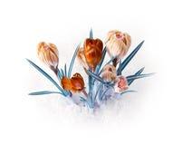 Ramalhete da flor do açafrão da mola Fotografia de Stock