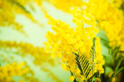 mimosa Fotografia de Stock Royalty Free