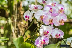 Ramalhete da orquídea cor-de-rosa, Phalaenopsis Fotografia de Stock Royalty Free