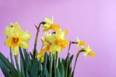 Ramalhete da Páscoa da mola de narcisos amarelos amarelos no backgro cor-de-rosa brilhante Imagem de Stock Royalty Free