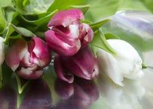 Ramalhete da tulipa vermelha e branca Imagens de Stock Royalty Free