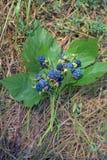 Ramalhete das amoras-pretas nas hastes que encontram-se nas folhas na grama foto de stock