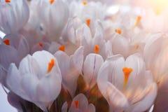 Ramalhete das flores brancas do açafrão Imagem de Stock