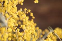 Ramalhete das flores da mimosa em um fundo de madeira Foto de Stock
