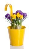 Ramalhete das flores do açafrão na cubeta do metal Fotografia de Stock Royalty Free