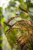 Ramalhete das orelhas do trigo na soleira Ramalhete do trigo em um fundo obscuro, foto de stock