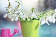 Ramalhete das primeiras flores da mola dos snowdrops Fotografia de Stock Royalty Free