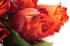 Ramalhete das rosas sobre o fundo isolado branco Imagem de Stock