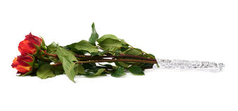 Ramalhete das rosas sobre o fundo isolado branco Imagem de Stock Royalty Free