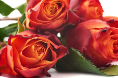 Ramalhete das rosas sobre o fundo isolado branco Foto de Stock Royalty Free