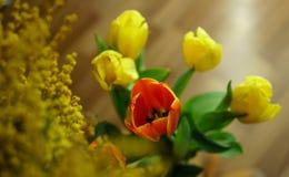 Ramalhete das tulipas e do close-up da mimosa Foto de Stock Royalty Free