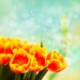 Ramalhete das tulipas na frente da cena da mola Fotos de Stock Royalty Free