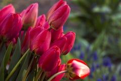 Ramalhete das tulipas vermelhas, tulipas vermelhas na mola na rua, backg Foto de Stock