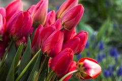 Ramalhete das tulipas vermelhas, tulipas vermelhas na mola na rua, backg Imagens de Stock