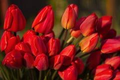 Ramalhete das tulipas vermelhas, tulipas vermelhas na mola na rua, backg Imagens de Stock Royalty Free