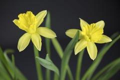 Ramalhete de daffodils amarelos Imagem de Stock