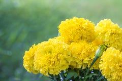 Ramalhete de flores amarelas, cravo-de-defunto americano Fotografia de Stock Royalty Free