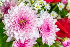 Ramalhete de flores roxas do crisântemo Fotos de Stock